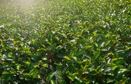 Green plantation of the famous Ceylon tea. Sri Lanka Banco de Imagens