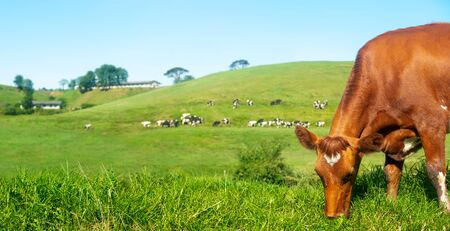 Scenic panoramic view of rural farm with cow in the foreground