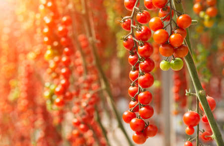 Ecological Fresh red cherry tomatoes in greenhouse of farm in sunny day. Vietnam