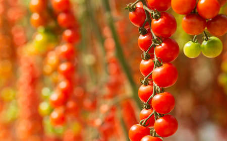 Ecological Fresh red cherry tomatoes in greenhouse of farm.