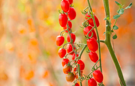 Ecological Fresh red cherry tomatoes in greenhouse of farm Banco de Imagens