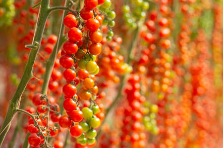 Ecological fresh red cherry tomatoes in the greenhouse of the farm. Vietnam Banco de Imagens