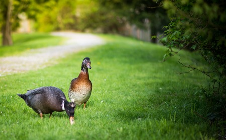 Duck couple  is walking on the grass.