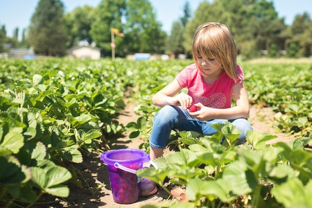 strawberry baskets: Child picking strawberries at a farm