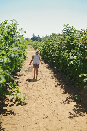 cultivation: Young girl walking  in a raspberry field with  freshly picked raspberries. Stock Photo