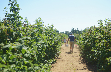 A father and daughter walking  in a raspberry field with  freshly picked raspberries.