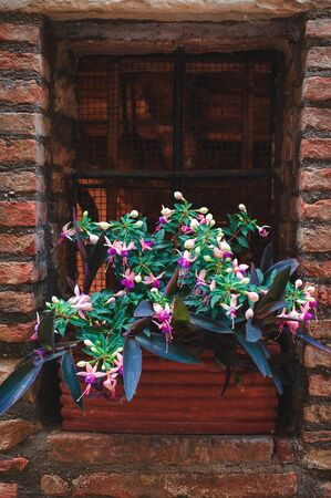 Fuchsia flowers on the window, in a ceramic flower pot
