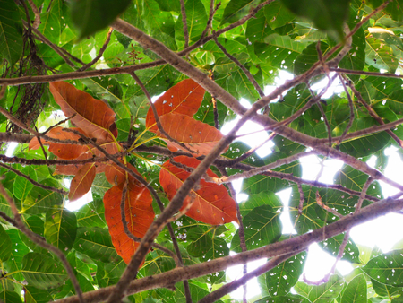 Banyan  tree red leaves with green leaves in background Stock Photo