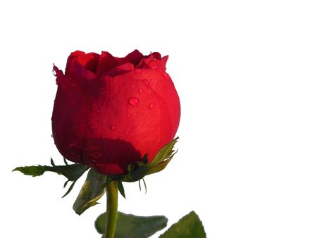 Levendige rode roos met bladeren waterdruppeltje geïsoleerd op een witte achtergrond Stockfoto