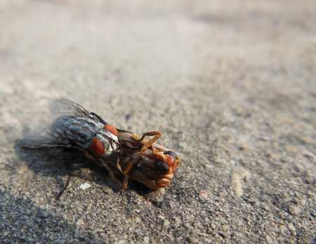 Macro close up of Housefly eating on a dead insect bug