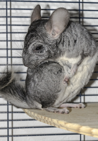 A chinchilla, a rodent of South America, on white bottom