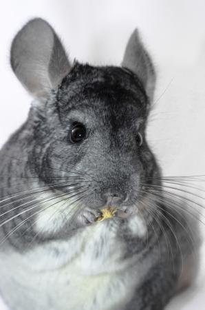 roedor: Una chinchilla, un roedor de Am�rica del Sur, en el fondo blanco