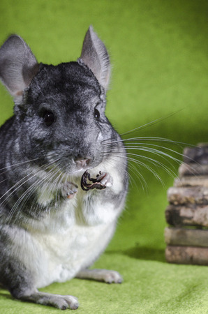 a  nice chinchilla on green bottom, vertical, colour  photo