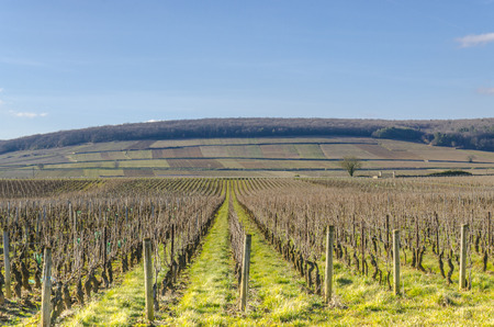 french way: the wine yard�s in burgundy, France