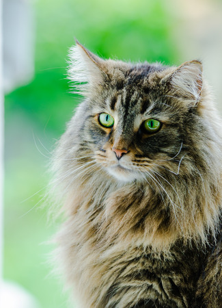 an norwegian forest cat