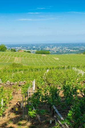 landscape of wine yard's in burgundy, France, summer Banque d'images