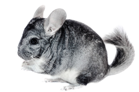 chinchilla on white background
