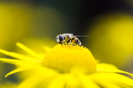 Fly of yellow flower
