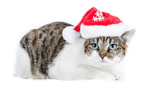 alley cat with red christmas hats, isolated on white