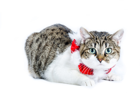 halley cat with christmas accessories, color and horizontal, isolated on white