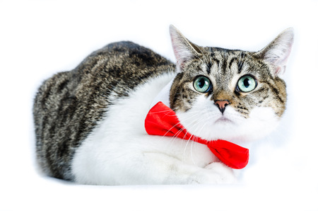 Alley cat with bow tie, isolated on white, color and horizontal