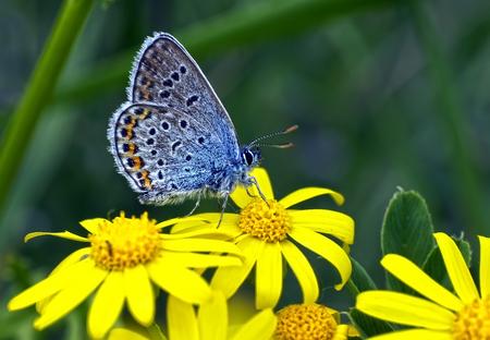 Mariposas de la paloma en las flores Foto de archivo - 80544879