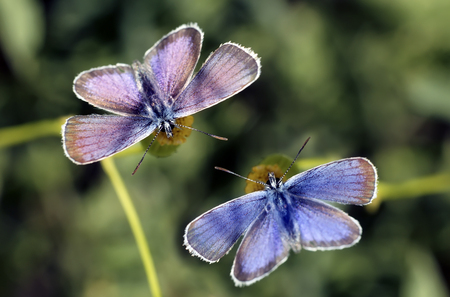 Butterflies of the dove on flowers