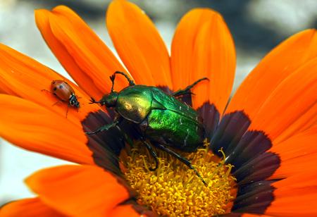 Ladybug in dewdrops Stock Photo