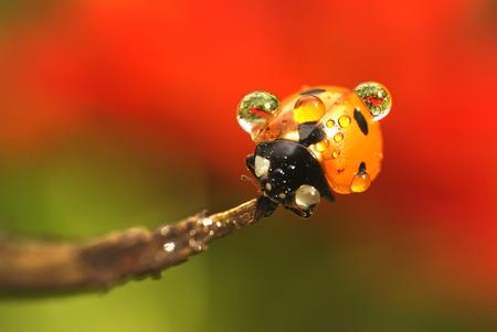 Ladybugs in dew drops
