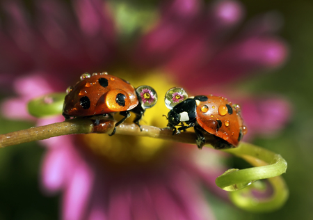 The ladybug in dewdrops sits on flowers