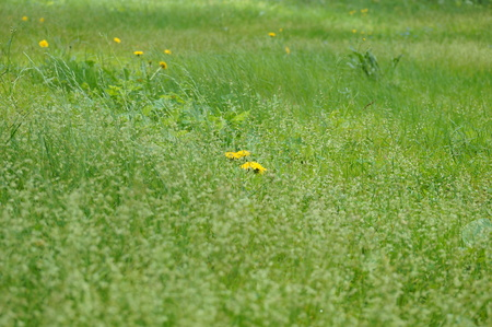 disappears: a field of yellow dandelions in the green grass disappears