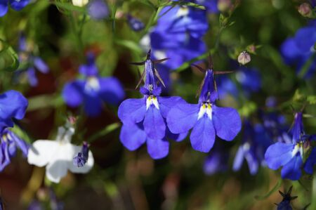 small and colorful flowers lobelia incredible beauty summer