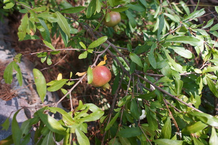 tangy: Pomegranate punica granatum will produce fruit ripening in late autumn bears delicious red glutinous seeds for tangy fruit juice drinks and cordials. Stock Photo