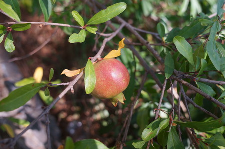 Pomegranate punica granatum will produce fruit ripening in late autumn bears delicious red glutinous seeds for tangy fruit juice drinks and cordials. Stock Photo