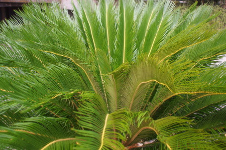 cycad: Cycas cycad tropical palm trees in the yard Very rare occurrence in nature