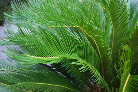 occurrence: Cycas cycad tropical palm trees in the yard Very rare occurrence in nature
