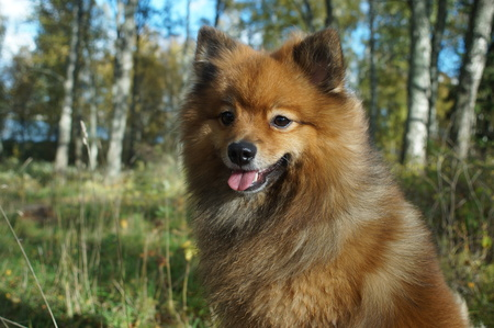 the dog-mans best friend, the German Spitz is beautiful in the Golden autumn Stock Photo