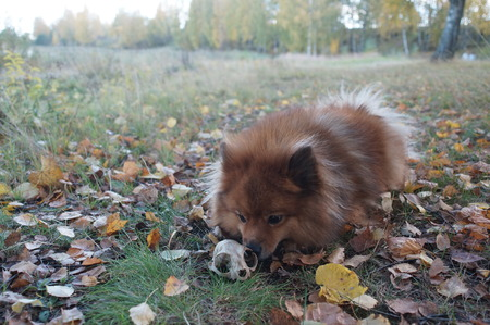 shepperd: the dog found the skull in the grass, mining, the German Spitz is beautiful in the Golden autumn Stock Photo