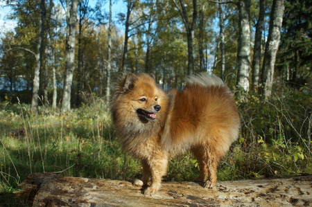 shepperd: the dog-mans best friend, the German Spitz is beautiful in the Golden autumn Stock Photo