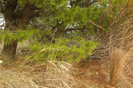 tjuta: dried grass and rich green needles of the pine trees, nature of Montenegro