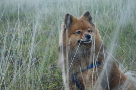 man's best friend: dog is mans best friend, dog walk, dog in autumn the grass,breed Pomeranian