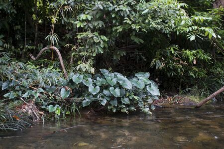 Blooming anubias plant green leaves along the river in Thailand