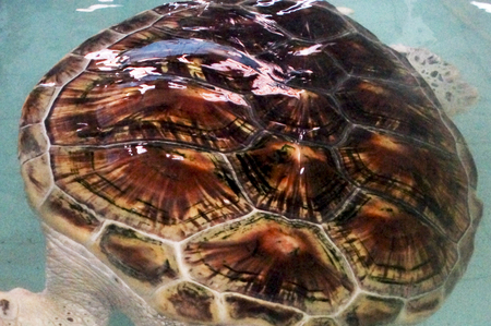 snapping turtle: terrapin farm, breeding in the pool for the maintenance of the population