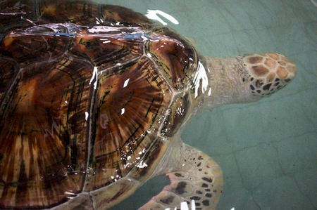 terrapin farm, breeding in the pool for the maintenance of the population