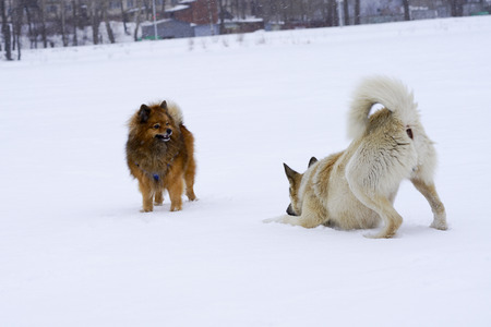 running nose: two dogs in the winter to play in the snow, purebred dog purebred dog close-up