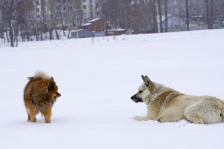 two dogs in the winter to play in the snow, purebred dog purebred dog close-up