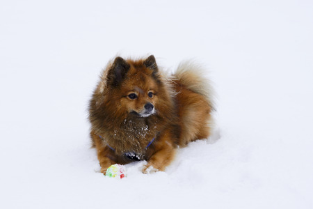 running nose: small decorative dog plays winter ball on white snow breed German Spitz