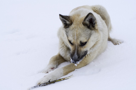 street hungry dog gnawing on a branch lying on the snow winter cold