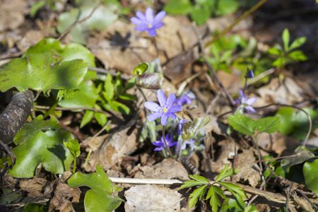 liverwort: first spring blue flowers in the forest