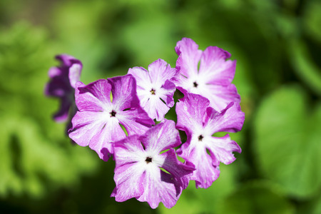 Perennial primrose or primula in the spring garden. Spring primroses flowers, primula polyanthus. First flower of spring. Stock Photo